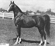 AARAF #2748 (*Raffles x Aarah, by Ghadaf) 1943-1969 chestnut stallion bred by Ben Hur Farms/ Henry & Blanche Tormohlen; sired 132 registered purebreds