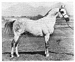 *BAJRAM #25461 (*Pietuszok x Bandola, by Witraz) 1959-1977 grey stallion; imported to the US from Poland 1963 by Lasma Arabians. Sired 104 registered purebreds in the US.