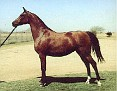 *BOLTONKA++ #25457 (Arax x Bulgotka, by Witraz) 1958-1983 bay mare; imported to the US 1963 by Lasma; Dam of 7 registered purebreds in the USA (all sired by *Bask++)