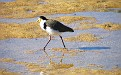 Plover in the Wynnum wading pool 009