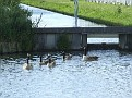 005. There is group 2 the Branta canadense,