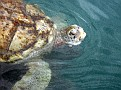 turtle farm on Grand Cayman - they are raised for research, conservation and food (but in what order???)
