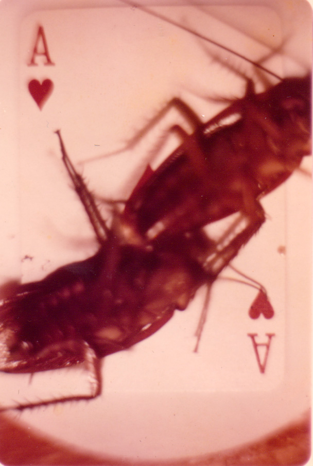 Two Cockroaches on an Ace of Hearts.  BIG Bugs!