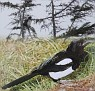 029. Pica pica,  This is the Magpie, Ekster in Holland