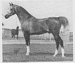 *BUSZMEN #69915  (Negatiw x *Busznica, by Faher) 1968-1986 grey stallion; imported to the USA 1971 by Lasma; sired 252 registered purebreds