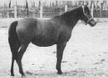 *AIRE #1028 (Ali x *Raira, by Rustana) 1929 bay mare bred by Guilherme Echenique Jr; imported to the US 1934 by General JM Dickinson/ Travelers Rest. Produced 10 registered purebreds.