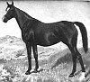 MECA #1219 (Ursus x Siria, by Nowik) 1923 chestnut mare bred by Marquis de Domecq; imported to the US 1934 by James Draper. Produced 2 registered purebreds, the mares GRAN VIA & MEHANA