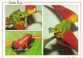 Red Eyed Leaf Frogs