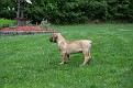 Tucker - South African Boerboel - one day we will be 200 lb