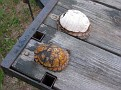 Box Turtles from traffic accidents.  I kept them alive for 6 months but they finally died.