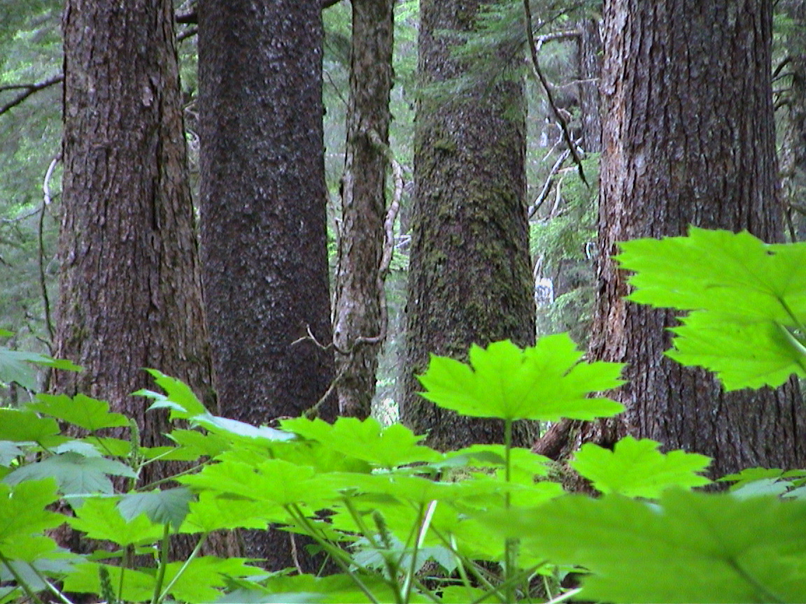 Devil's Club in the mixed spruce and hemlock forest