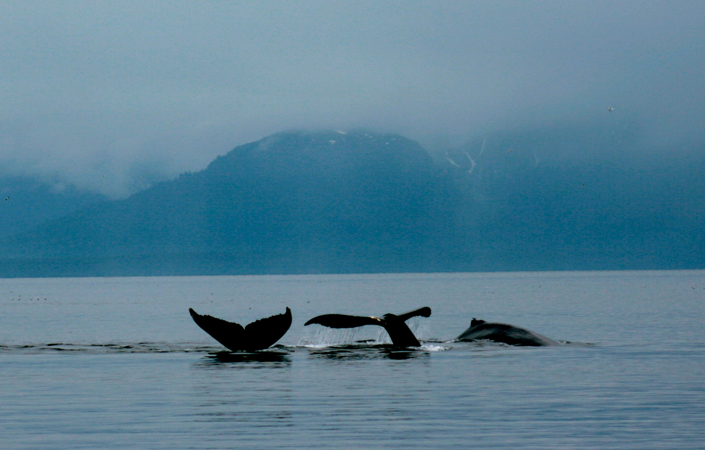 Whales in Icy Strait
