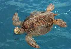 Midway - GREEN SEA TURTLE NA