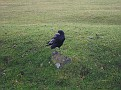 Another crow!! They're quite cute!