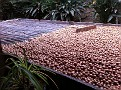 Macadamia Nut Drying Process.  The whole process is very labor intensive.