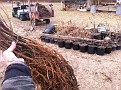 Monday December 13, 2010. Potting the remaining 60 Beach Plum Plants for transplanting as needed in the BP ORCHARD in the spring.  (Or for Sale ;-)