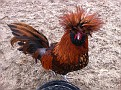 Another friend.  This one is a Golden Polish Rooster.