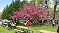 Flowering Cherry Tree at the Park...