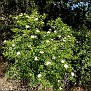 Rosa micrantha subsp  chionistrae (11)