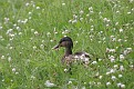 Duck Among the Clover