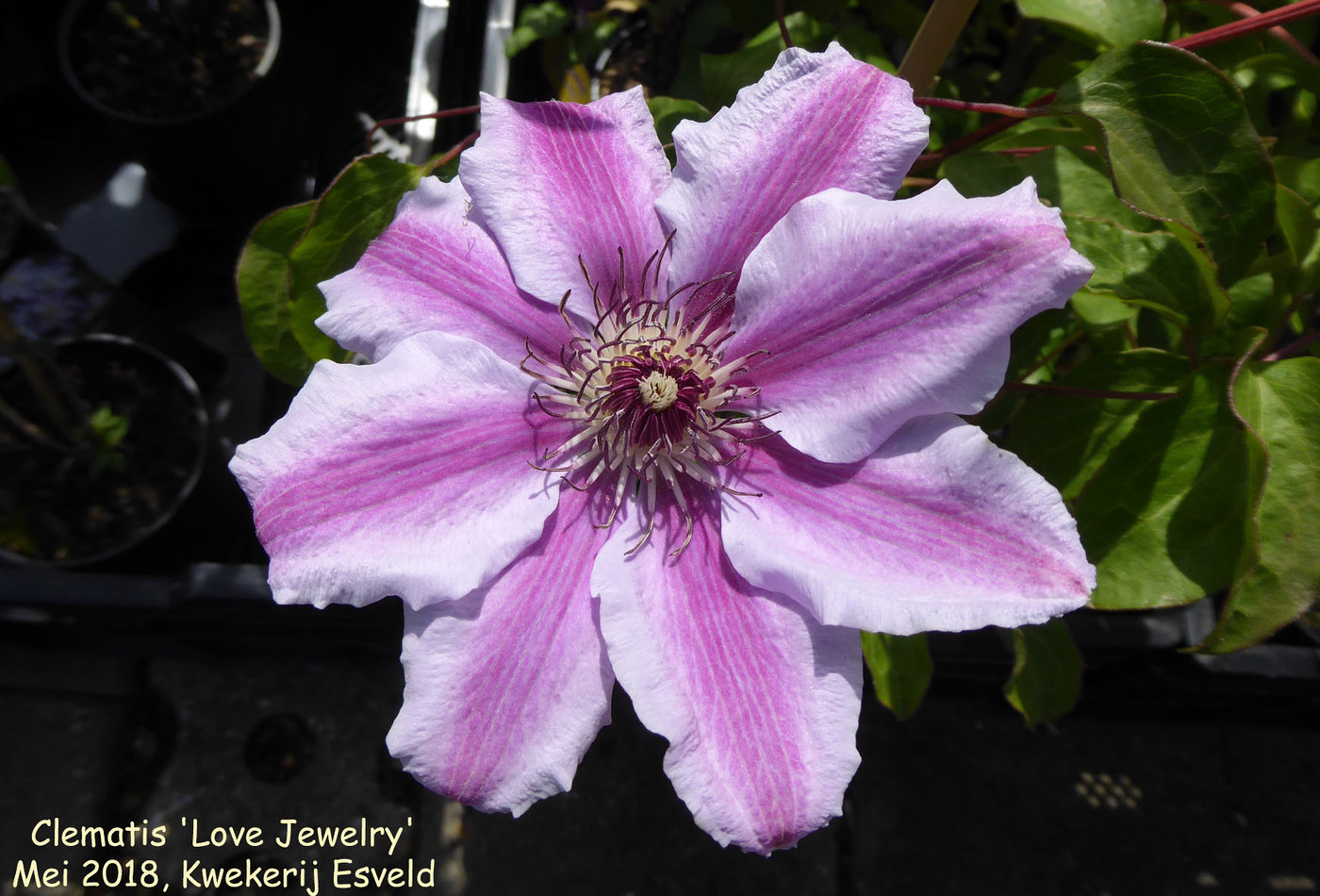 Clematis 'Love Jewelry'